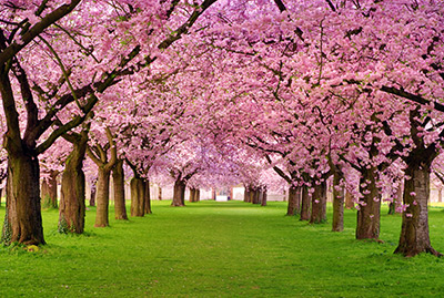 korea-cherry-blossoms